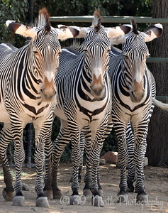 Zebras by Laurie H.
