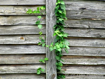 Vines by Dave T.