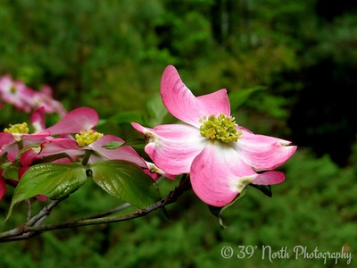 Dogwood Flower - Spring by Dave T.