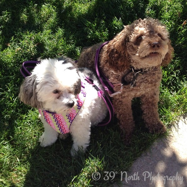 Two Poodles by Pam G.