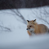 """Red fox from a """"foxhole"""""""