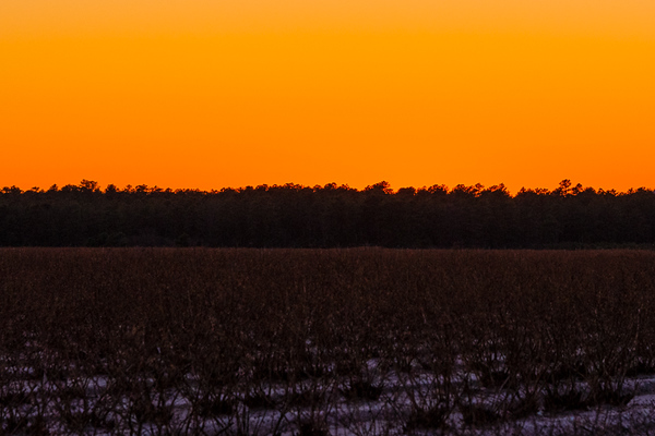 2020-Week 15 - Blueberry Field At Sunset