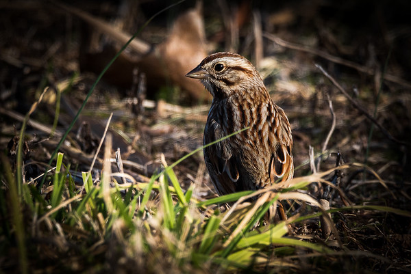 2021-Week 4 - Song Sparrow Looking out at the World