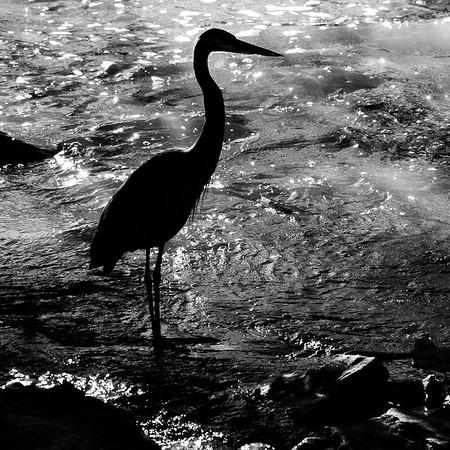 2021-Week 40 - Blue Heron at the Great Falls, MD