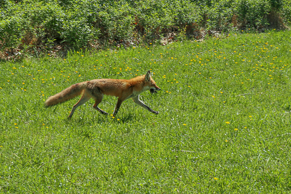 2020-Week 19 - Mother Fox Bringing Dinner Home