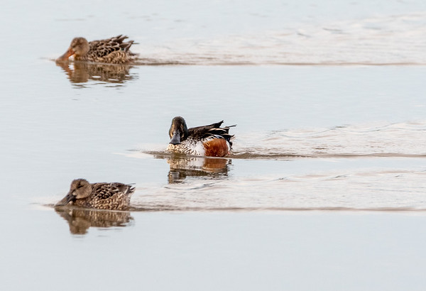 2021-Week 9 - Northern Shoveler