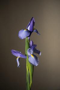 2018-Week 06 - Spring Irises