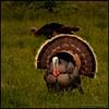 TurkeyW