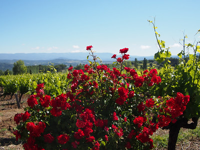 Rose bush at end of row of vines, Goult