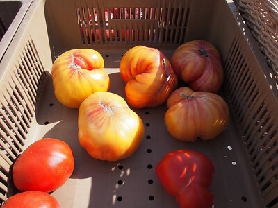 Rare tomato breeds