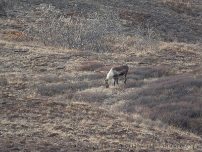 2017 09 17: Browsing caribou. Denali National Park, AK