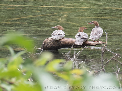 2017 07 26: Red-breasted Mergansers (Mergus serratus).