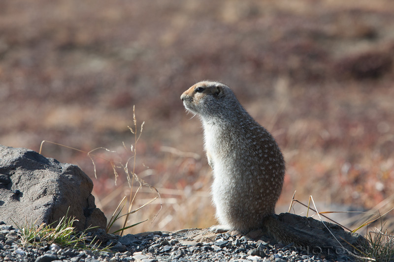 2017 09 17: An Arctic ground squirrel (Spermophilus parryii) sits out on a September day before  heading off to a likely eight month hibernation.