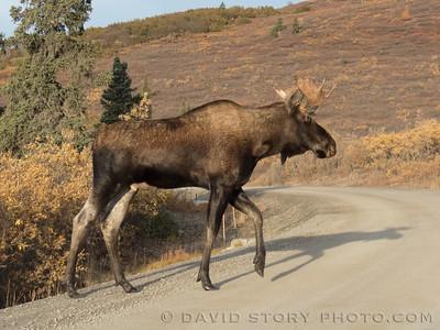 2017 09 17: Denali bull moose.