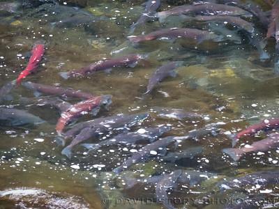 2017 07 26: Sockeye salmon (Oncorhynchus nerka).