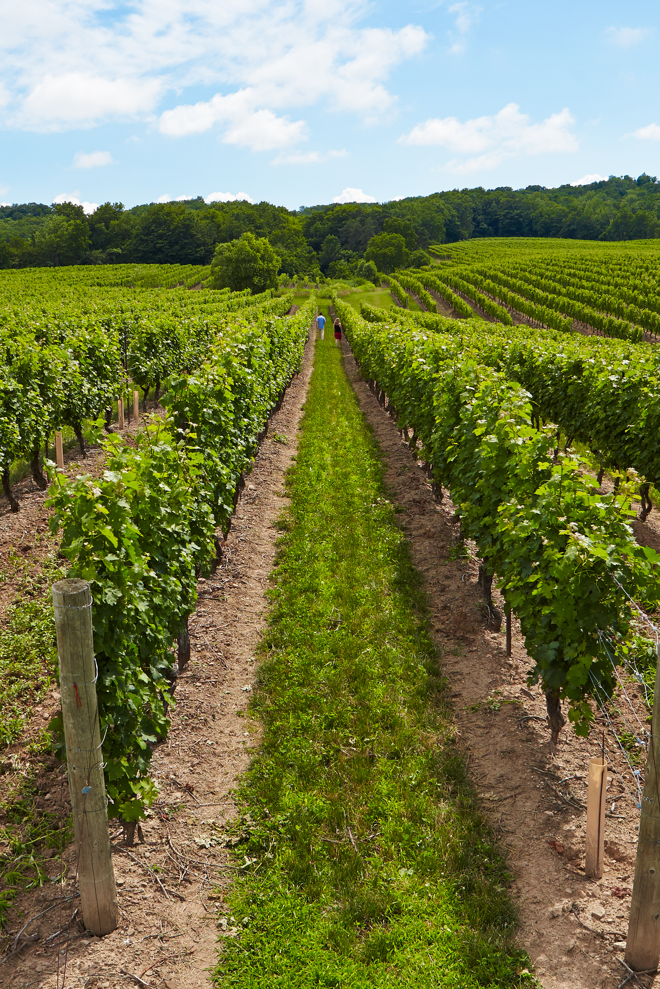 Niagara Vineyards, just one of 27 amazing things to do in Niagara, Canada - check out the rest!