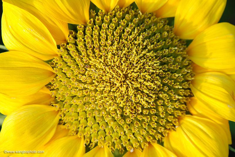向日葵 - 一镜收江南 - 清韵
