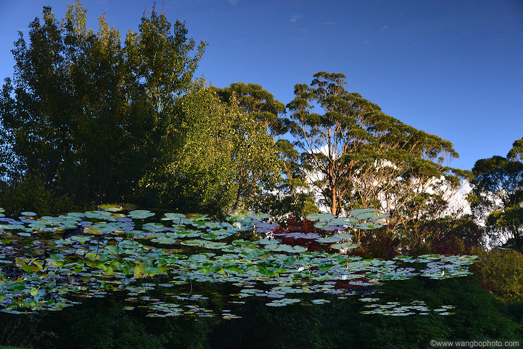 悉尼周末好去处 - Mt Wilson小景 - 一镜收江南 - 清韵