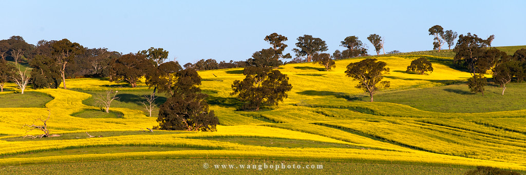 春天去Cowra看油菜花 -- 悉尼周边赏花攻略 - 一镜收江南 - 清韵