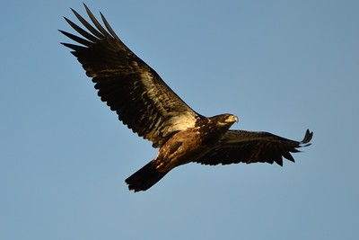 Someone help me with this.  I shot this guy flying overhead, but don't know for sure what I got.  Looks like an eagle.  Could it be an immature bald.