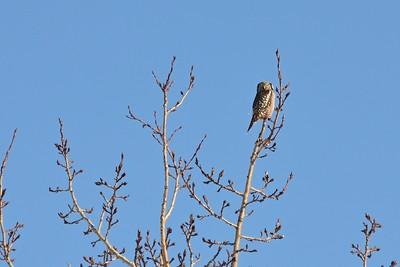 Northern Hawk Owl near Lake Hood in Anchorage, Alaska.