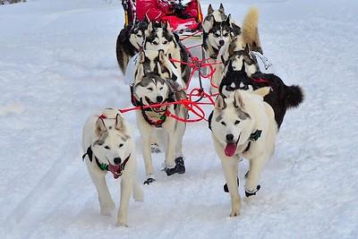 Pretty Dogs - purebred Siberians