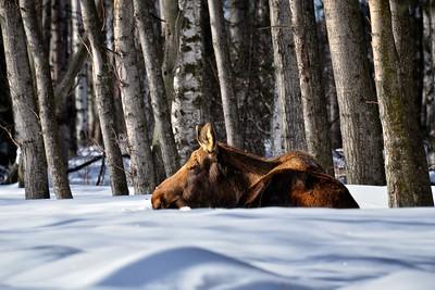 Moose sleeping in the snow in Anchorage, Alaska