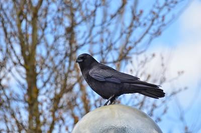 Raven on a street lamp - Anchorage, Alaska