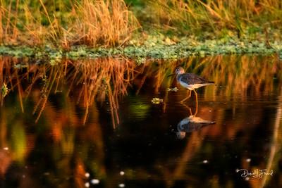 Early morning feeding in the marsh