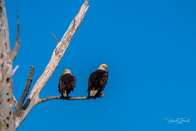 Mr and Mrs Bald eagles