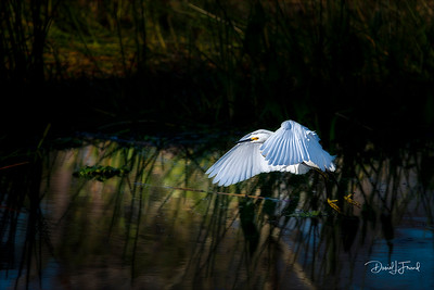 Snowy egret flying over marsh