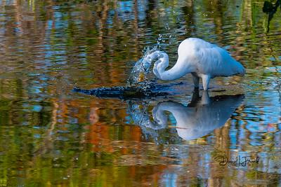 Great egret diving head
