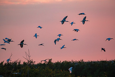 Ibsis birds flying in to roost end of day