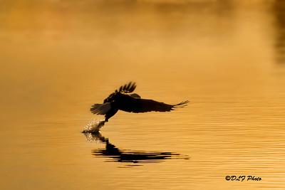 Amercian bald eagle grabbing fish out of water