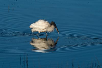 Wood stork forging for food in the marsh