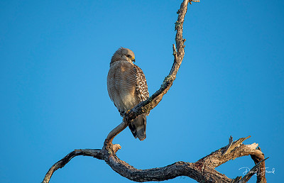 Red-shouldered Hawk on tree branch