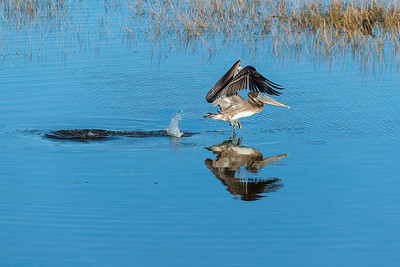Brown pelican taking off from the water