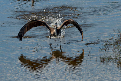 Brown pelican landing and taking off looking for fish