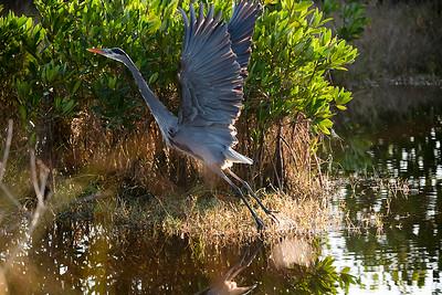 Blue heron flying away
