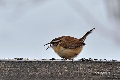 Carolina Wren feeding on fence post