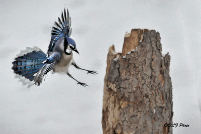 Blue Jay coming in for a landing