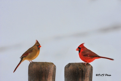 Female and male cardinal on fence post