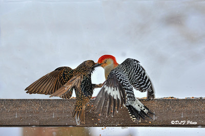 Red head getting chasing starling off fence rail