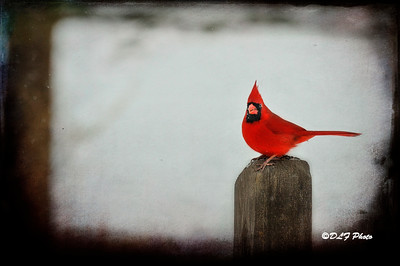 Male cardinal on post