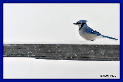 Blue Jay on fence post in winter..................Jays are known for their intelligence and complex social systems with tight family bonds. Their fondness for acorns is credited with helping spread oak trees after the last glacial period.