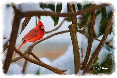 Red male cardinal in the rhododendron bush