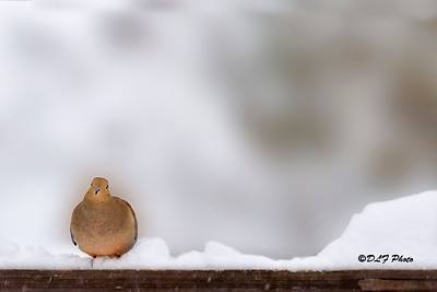 Morning Dove on fence in the snow