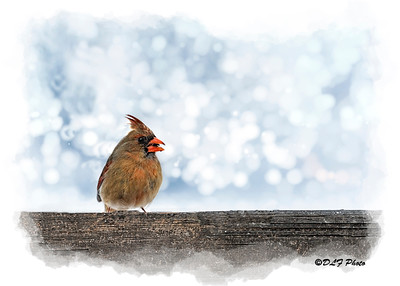 Female cardinal on fence post eating