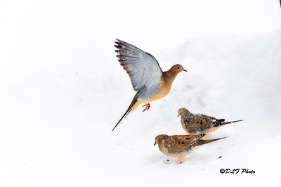 Mourning doves in flight during a snow storm