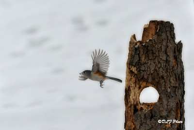 Titmouse flying away with food